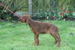 Irish Setter Puppy reluctant to move with lead